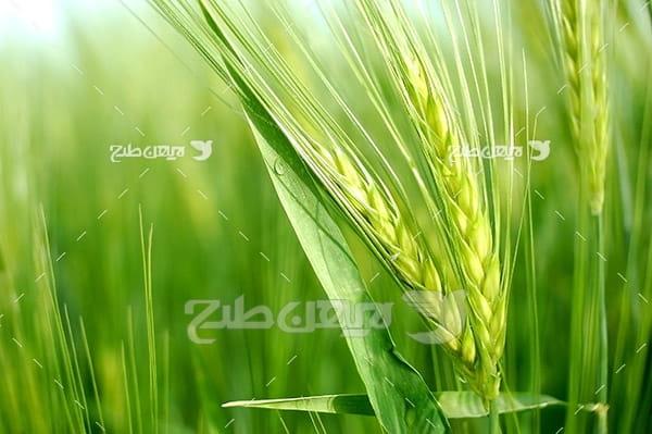 مزرعه گندم و خوشه گندم