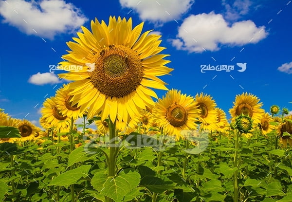 عکس مزرعه آفتاب پرست