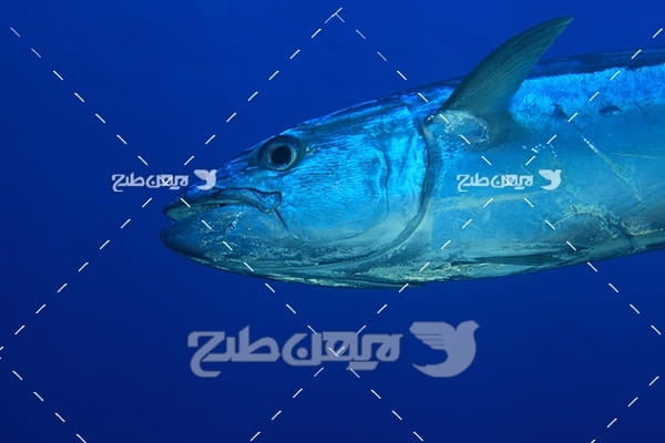 ماهی،گوشت ماهی,ماهی دریا