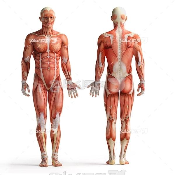 عضلات بدن انسان