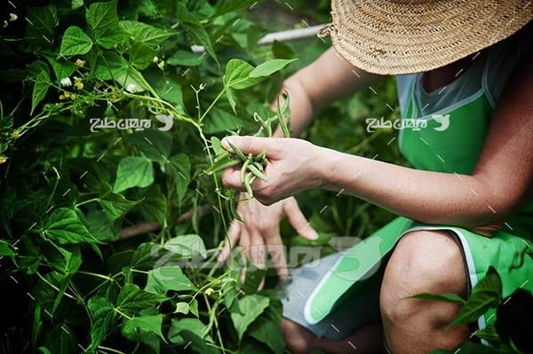 برداشت چای و کشاورزی