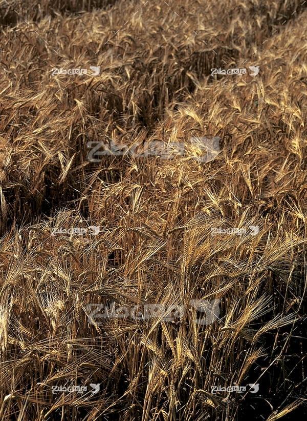 عکس مزرعه گندم