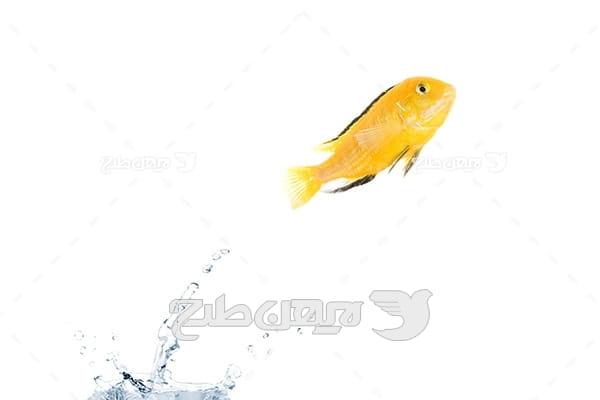 ماهی,ماهی گلی زرد