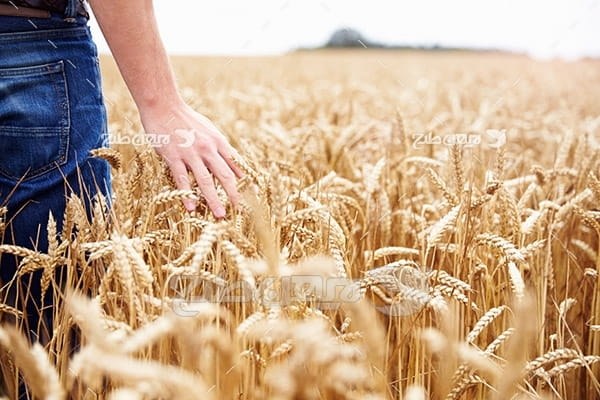 عکس کشاورزی و مزرعه گندم