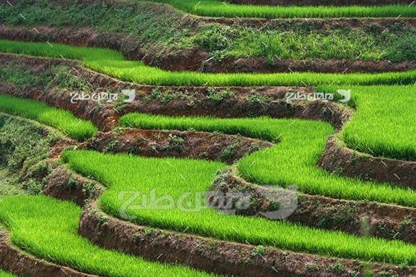 شالیزار برنج