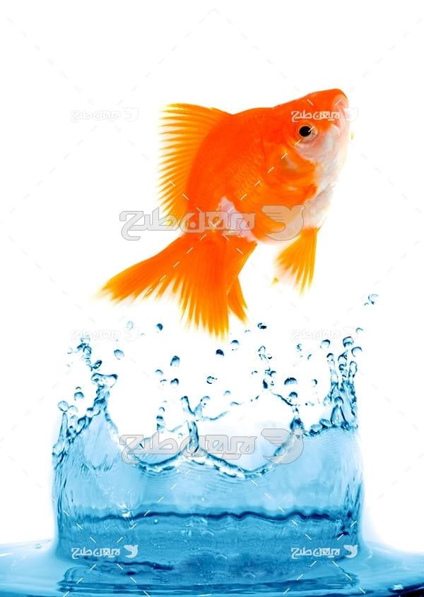 ماهی, ماهی گلی