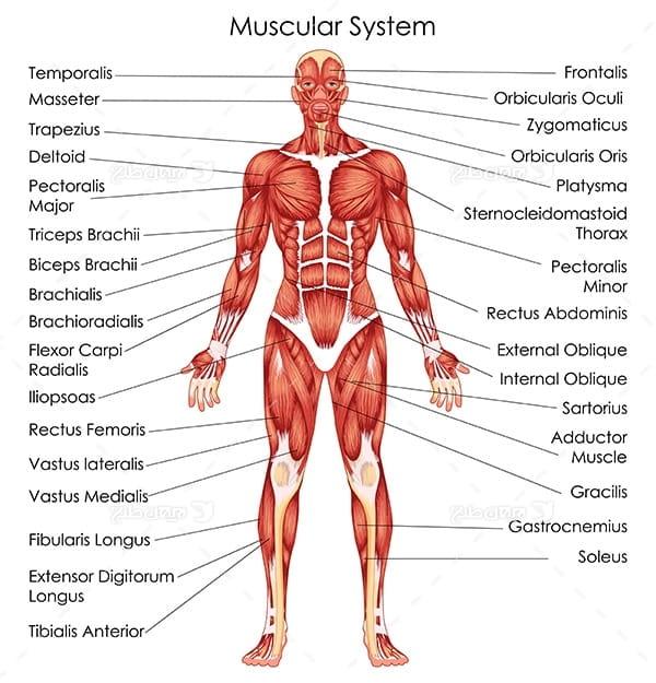 طرح وکتور با موضوع پزشکی - سیستم عضلانی