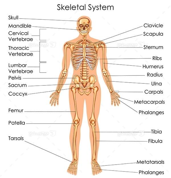 طرح وکتور با موضوع پزشکی - سیستم اسکلت بدن