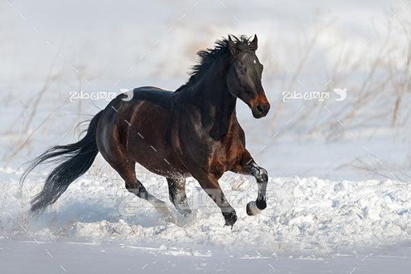 تصویر اسب مشکی و برف