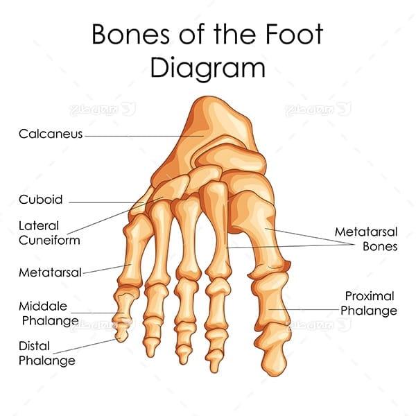 طرح وکتور با موضوع پزشکی - استخوان پا