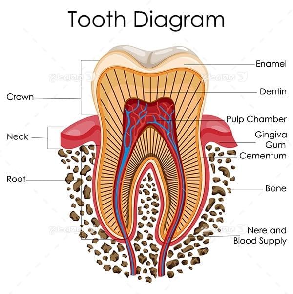 طرح وکتور با موضوع پزشکی - دندان