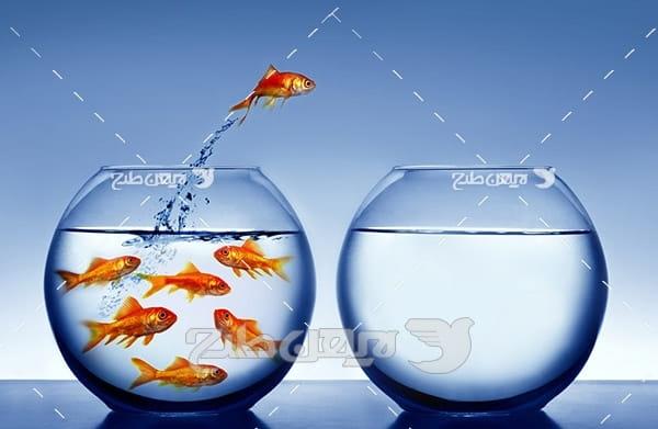 عکس ماهی قرمز نوروز و تنگ آب ماهی