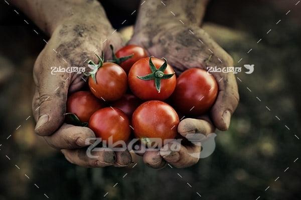 گوجه فرنگی و دست