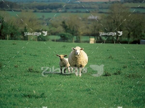 عکس گوسفند