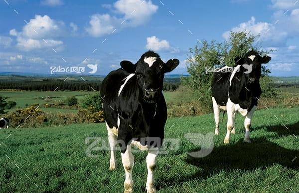 عکس گاو و دامپروری