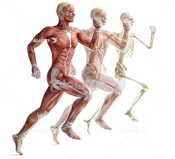 عضلات بدن در حالت دویدن