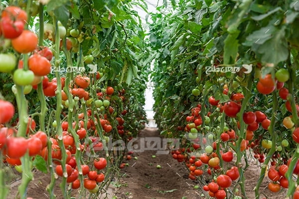 عکس مزرعه کشت گوجه