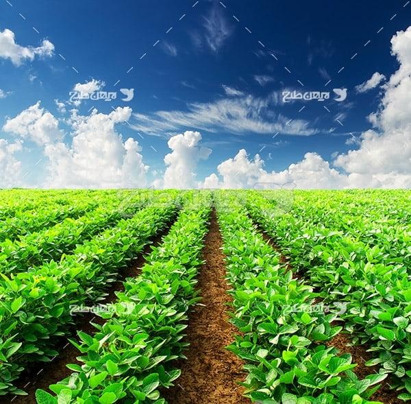 عکس مزرعه کشت چایی