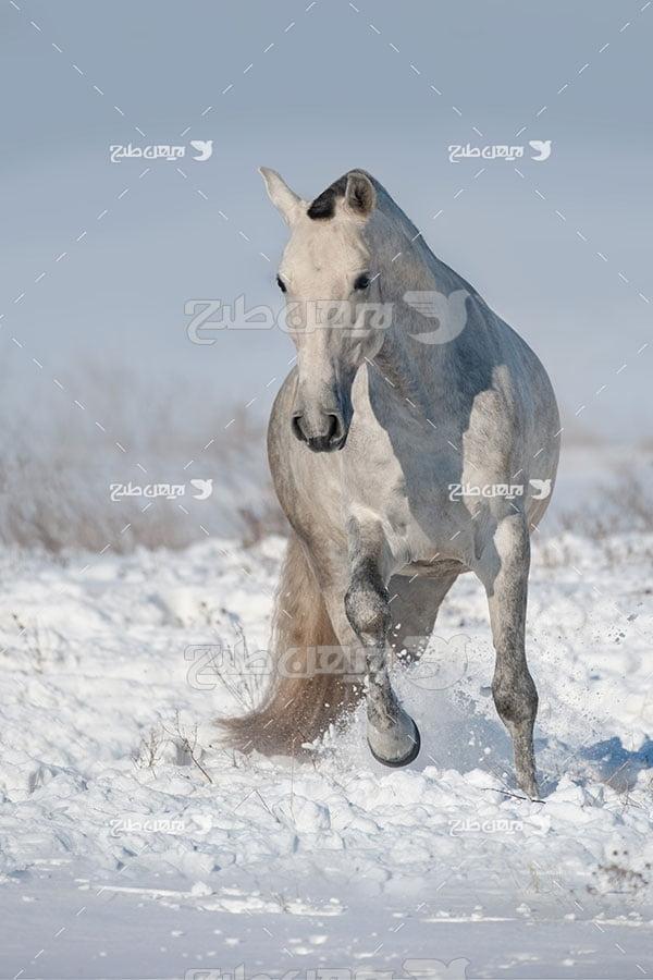تصویر اسب سفید