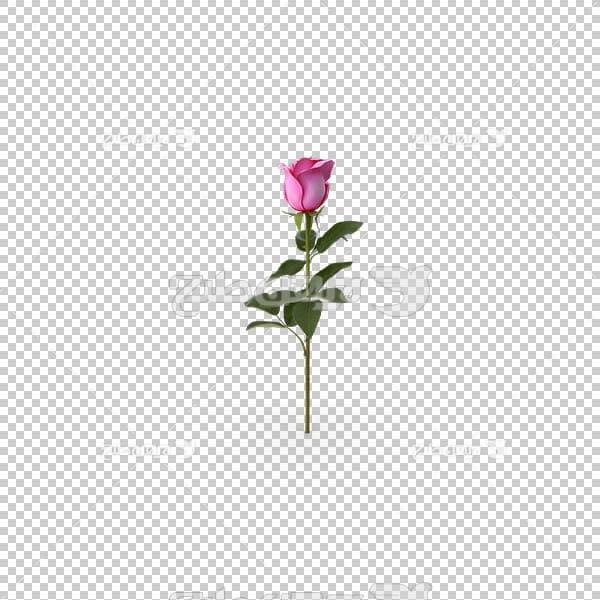تصویر سه بعدی دوربری شاخه گل رز