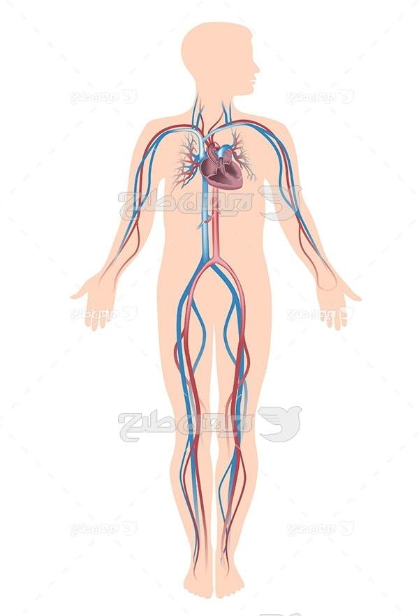 وکتور بدن انسان