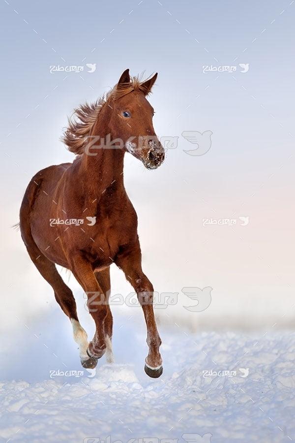 تصویر اسب قهوه ای