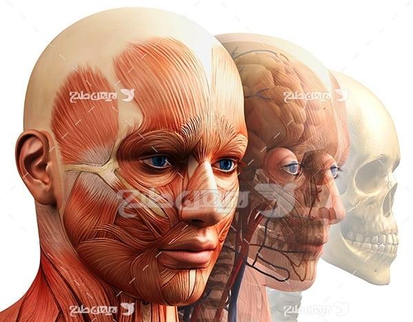 عضلات صورت انسان
