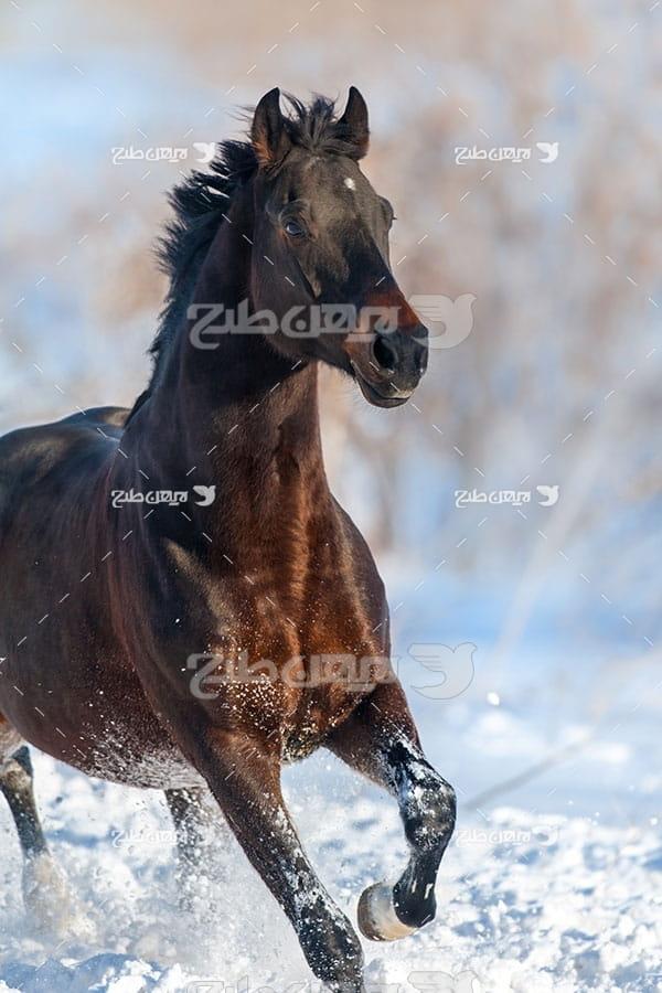 اسب در حال دویدن