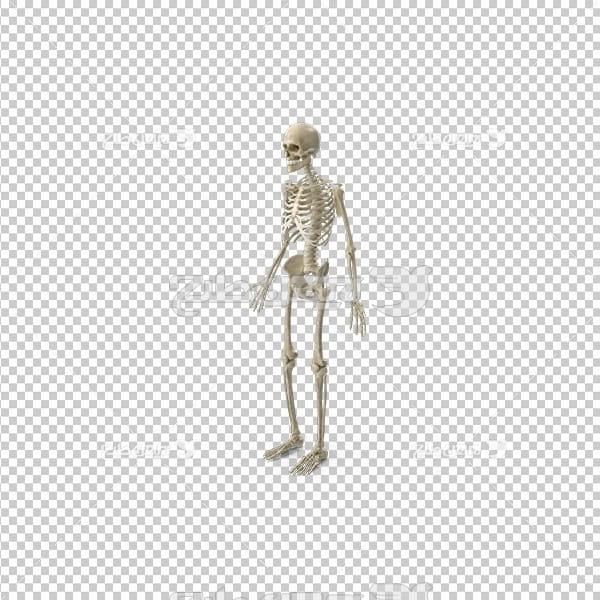 تصویر دوربری سه بعدی اسکلت  بدن انسان