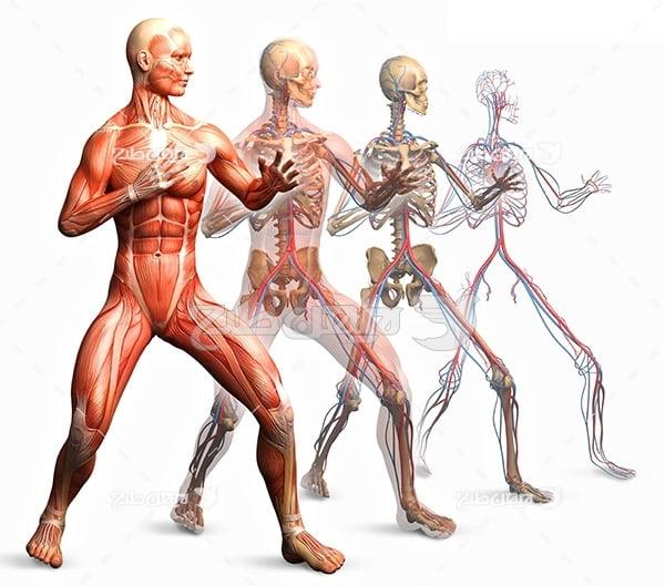 عکس ساختار بدن انسان
