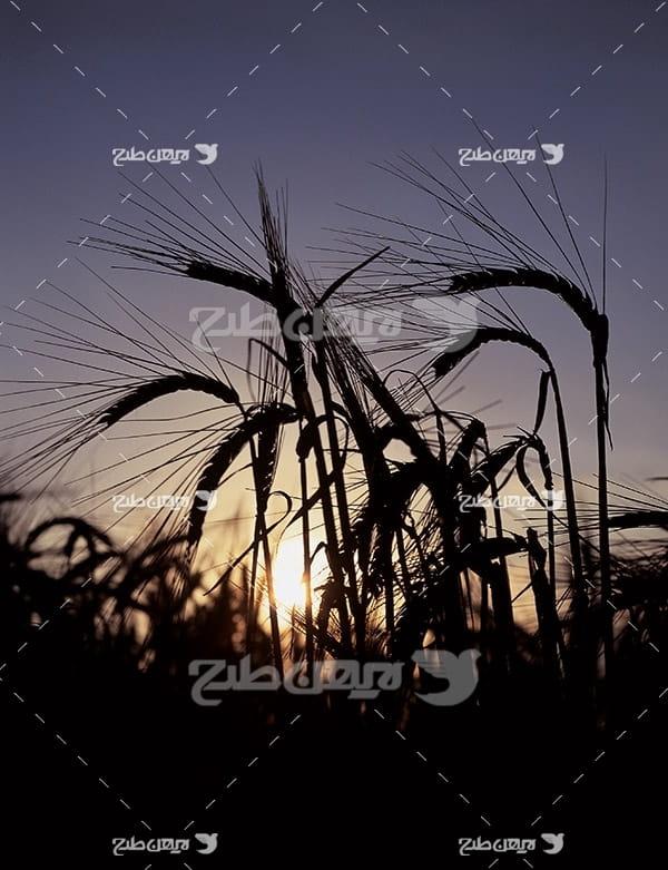 عکس گندم و ضد نور