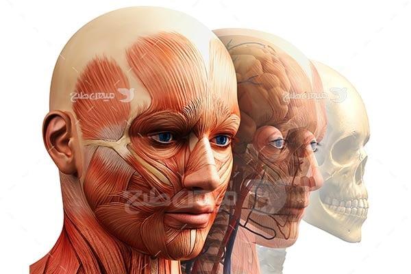 عکس آناتومی ماهیچه صورت انسان