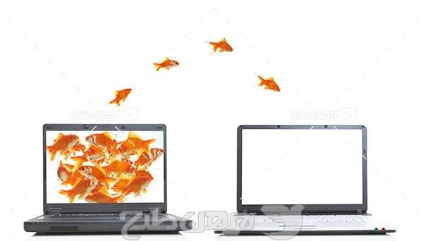 ماهی,ماهی گلی قرمز