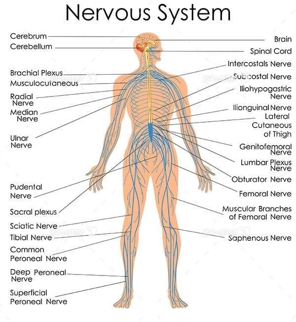 طرح وکتور با موضوع پزشکی - سیستم عصبی