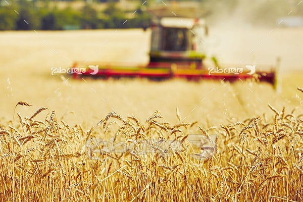 عکس مزرعه کشاورزی و گندم