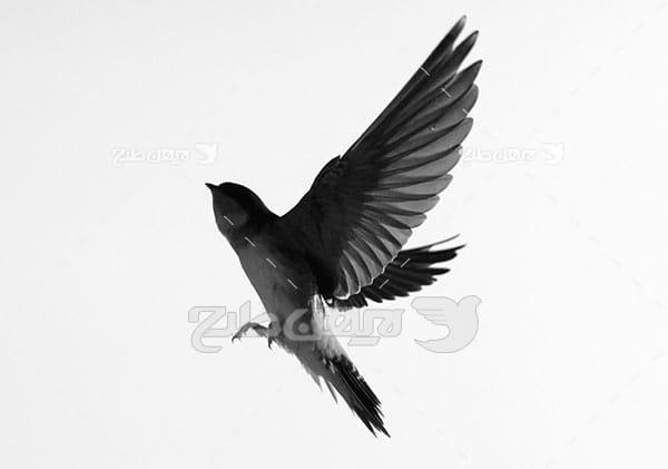 تصویر پرواز پرنده