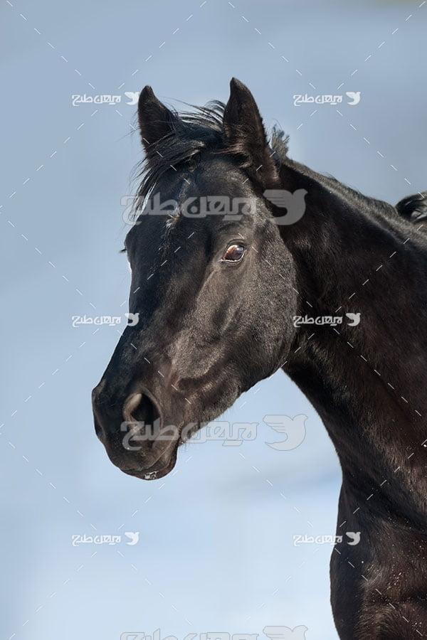 اسب مشکی
