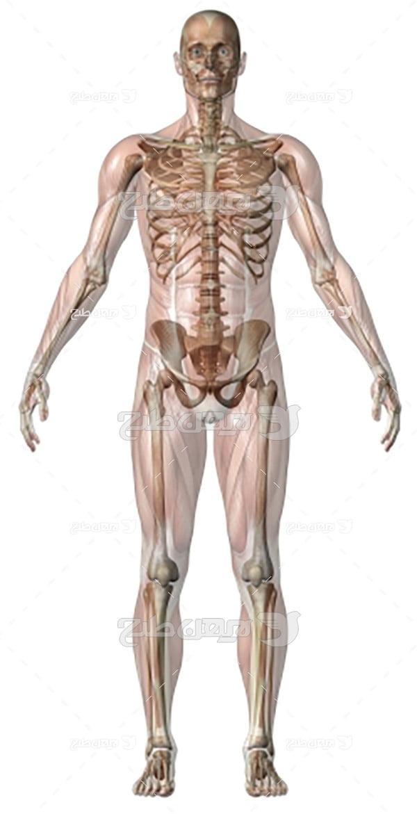 عکس بدن انسان
