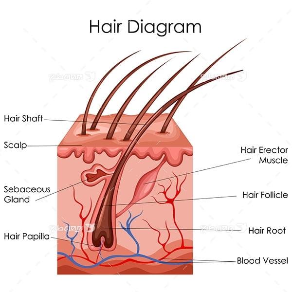 طرح وکتور با موضوع پزشکی - مو