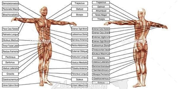 وکتور مشخصات بدن انسان