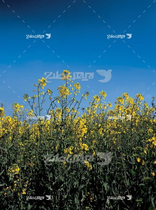 گل های زرد و طبیعت