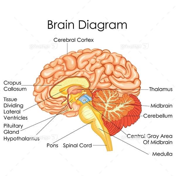 طرح وکتور با موضوع پزشکی - مغز